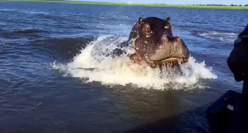 【30秒動画】テメェ縄張り入っただろコラと高速ボートを追いかけてくるカバが怖過ぎ!