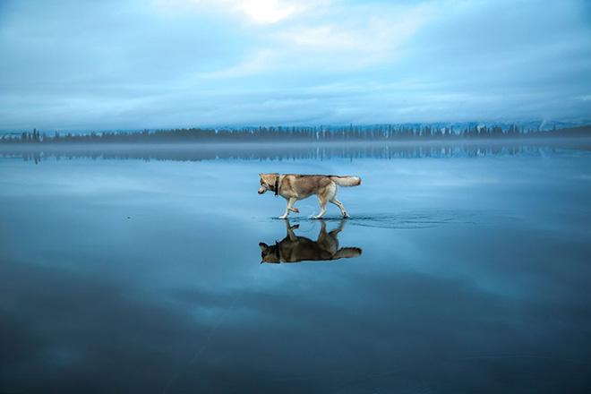 ロシアの最北端の凍った湖上で遊ぶ2頭のシベリアン・ハスキー